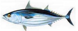 tipos de atun